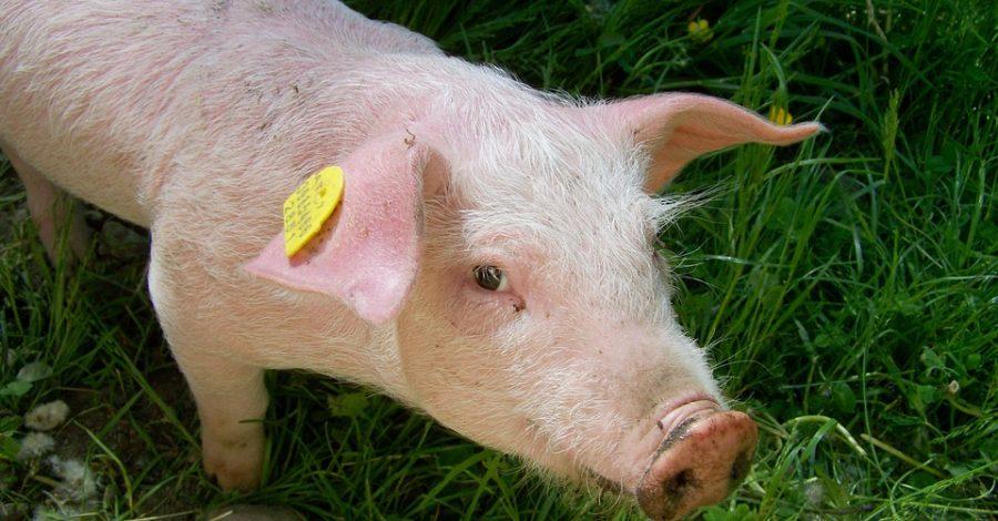 Focare de pestă porcină africană în trei gospodării din Topana, Leleasca și Cungrea